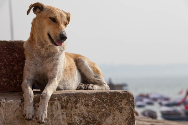 A dog at the banks of Ganges River in Varanasi, India.