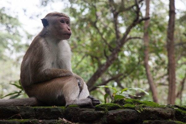 A monkey at Sri Lanka.