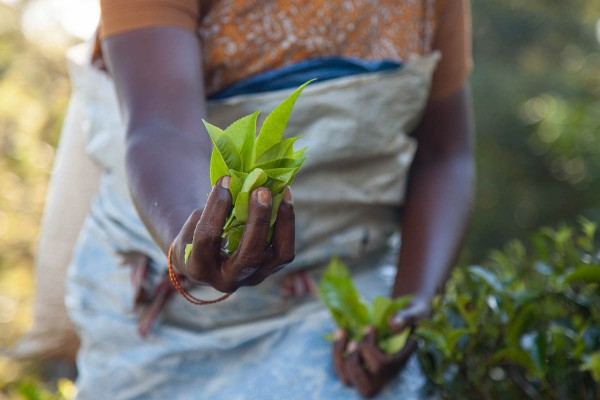 A tea picker holding leaves of Camellia sinensis near Ella in Sri Lanka.