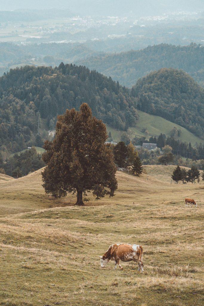 Kamniski vrh, Slovenia - September 2018: Cows on a pasture