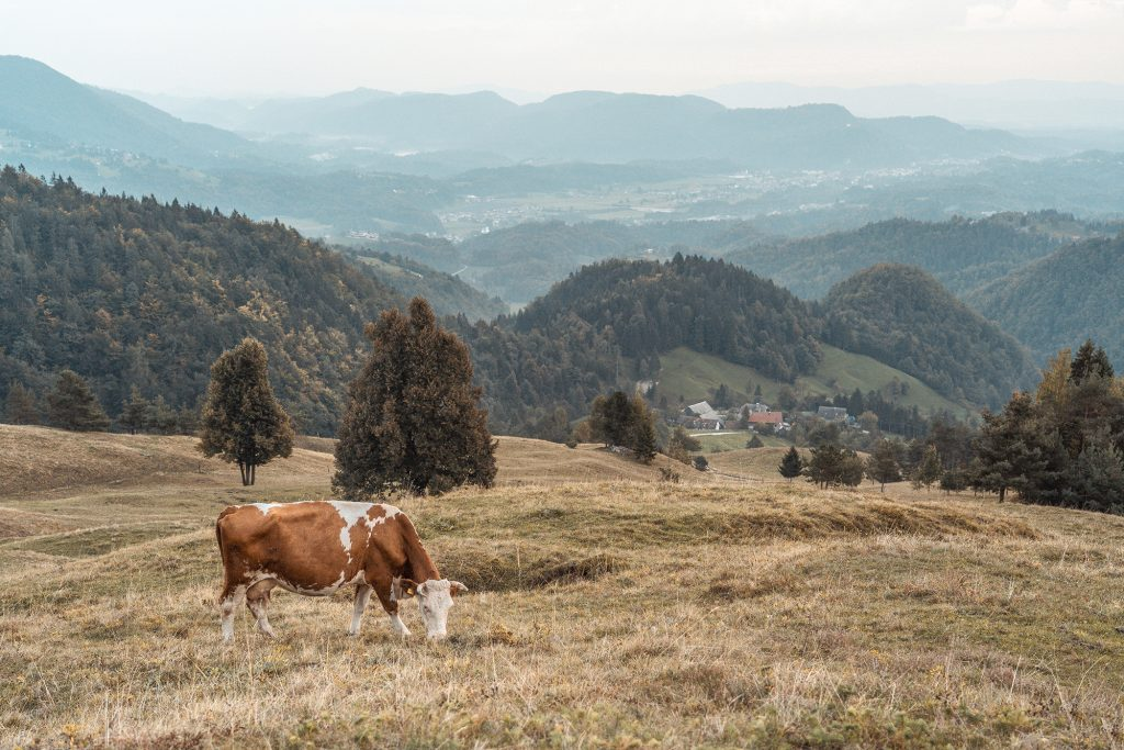 Kamniski vrh, Slovenia - September 2018: Cows on a pasture